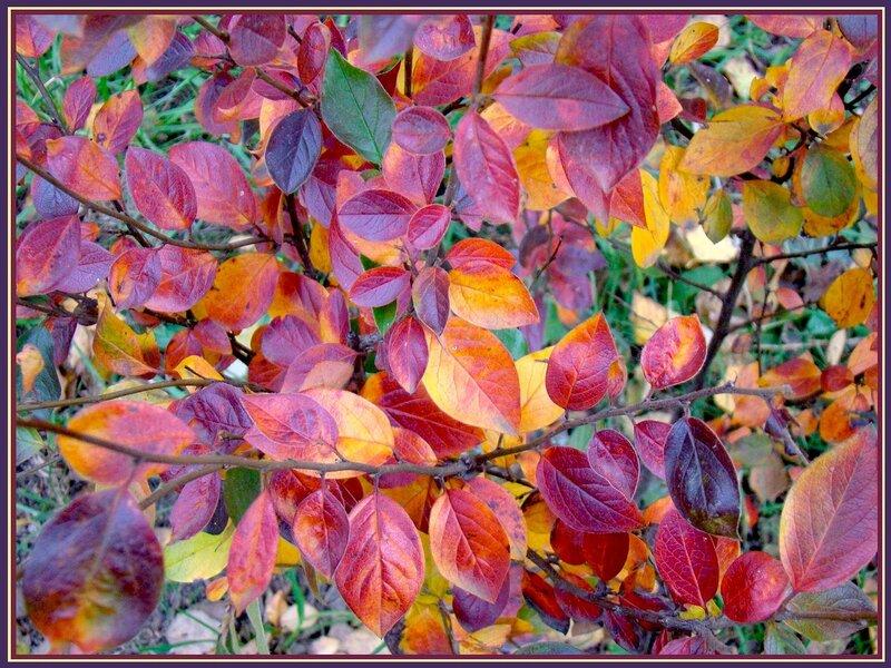 """Конкурс  """"Осень крупным планом """". вывесила фотку.  В багрец и золото одеты. октябрь.  Натали. кустарник."""