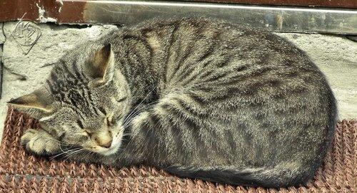 Сладкий сон  кота дворового