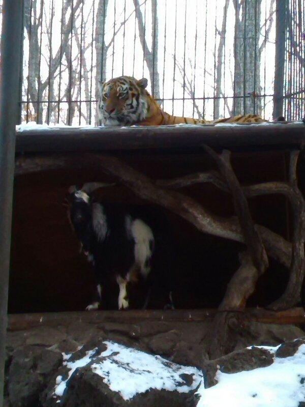 Любовь зла - приморский тигр живет с козлом