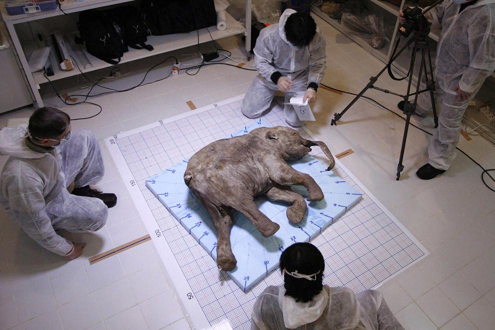 Мамонтенок люба. Она провела в вечной мерзлоте долгих 40 000 лет…  Также смотрите статьи « Д