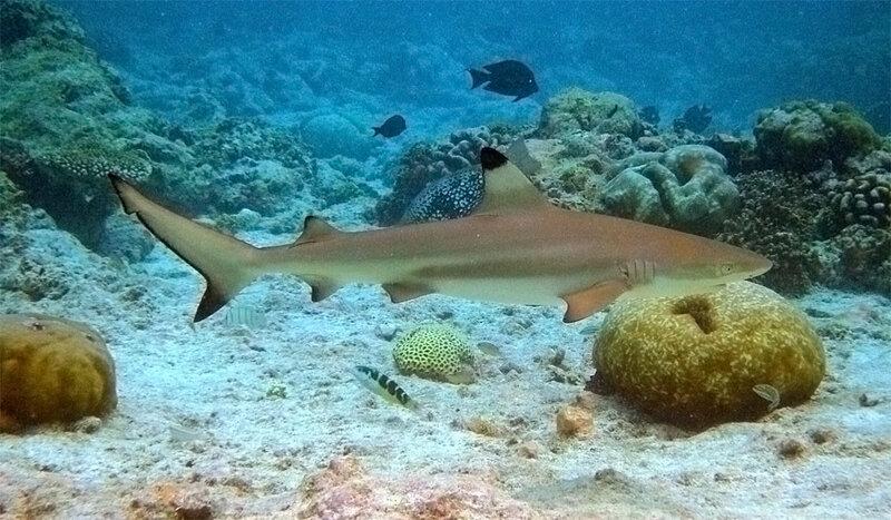 Темноперая серая акула (Carcharhinus amblyrhynchos)