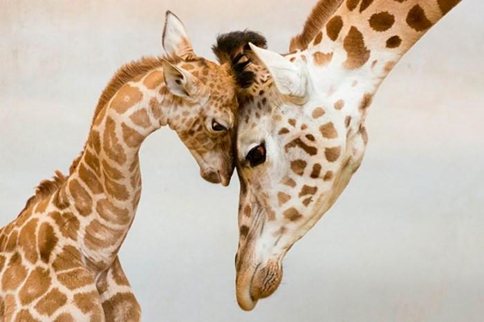 Трогательные истории любви и заботы среди животных