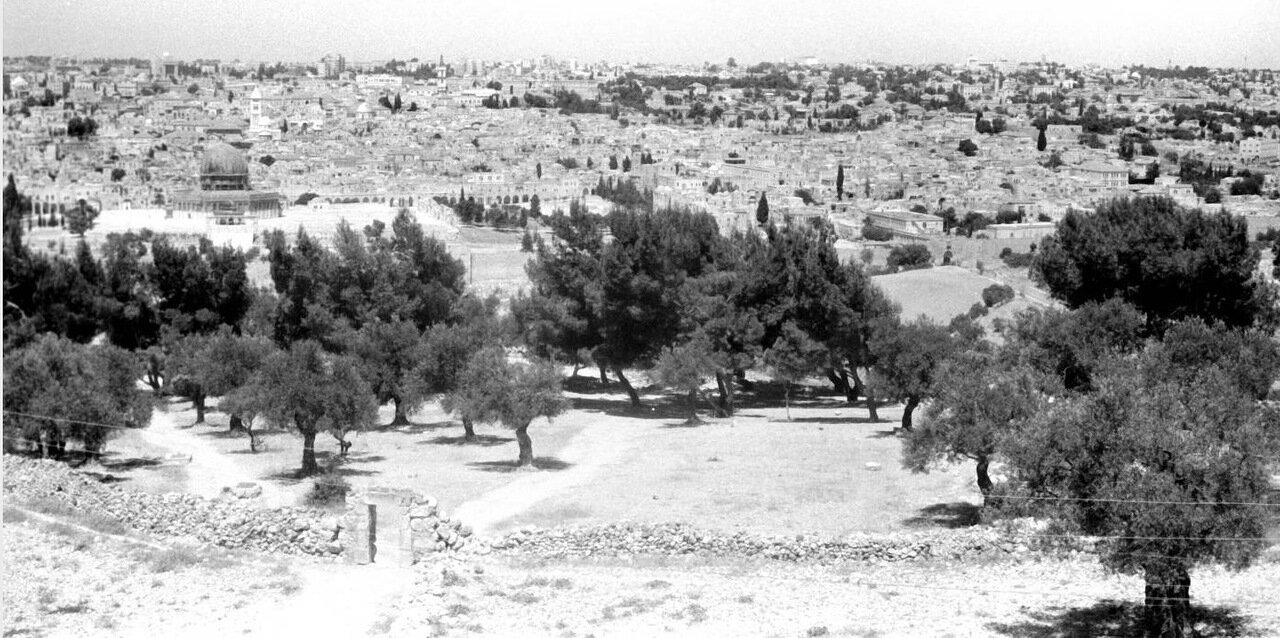 Оливковые деревья перед Куполом Скалы
