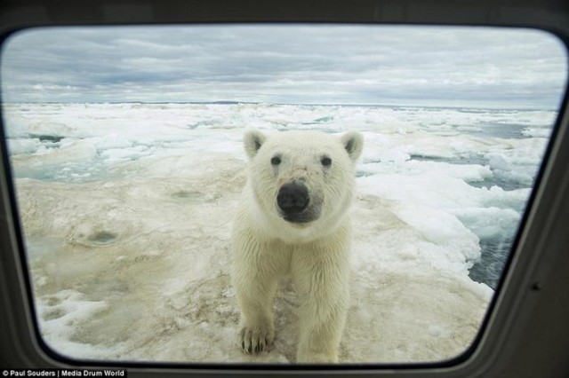Из за таяния льдов северные медведи заплывают на огромные расстояния
