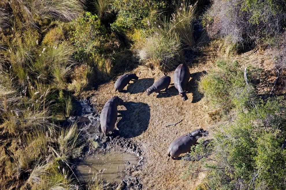 18. Бегемоты в дельте реки Окаванго