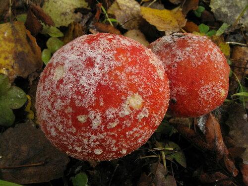 Мухомор красный (Amanita muscaria) Автор: Станислав Кривошеев