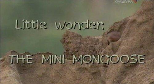 Маленькое чудо - карликовый мангуст