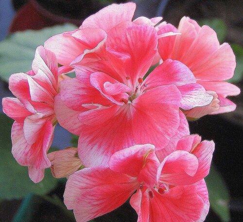 Герани...  красота - это Кришна,  цветы улучшают  настроение