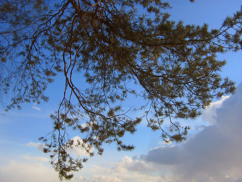 Сосна и небо