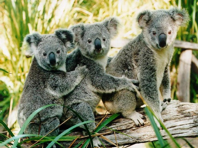 Как выглядит мокрый коала
