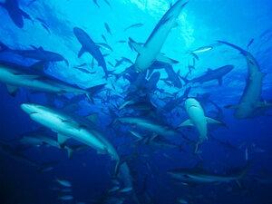 Акулятки.jpg
