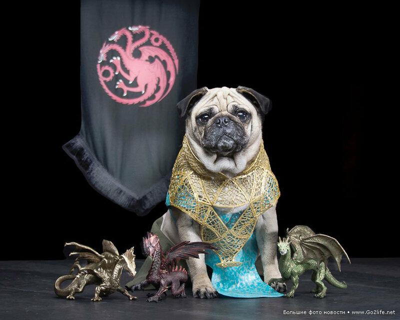 1422661642_4-game-of-thrones-cute-pugs.jpg