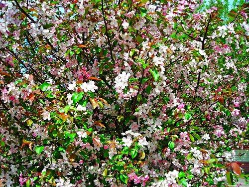Яблони цветут. Красноярск. 19,05,2015