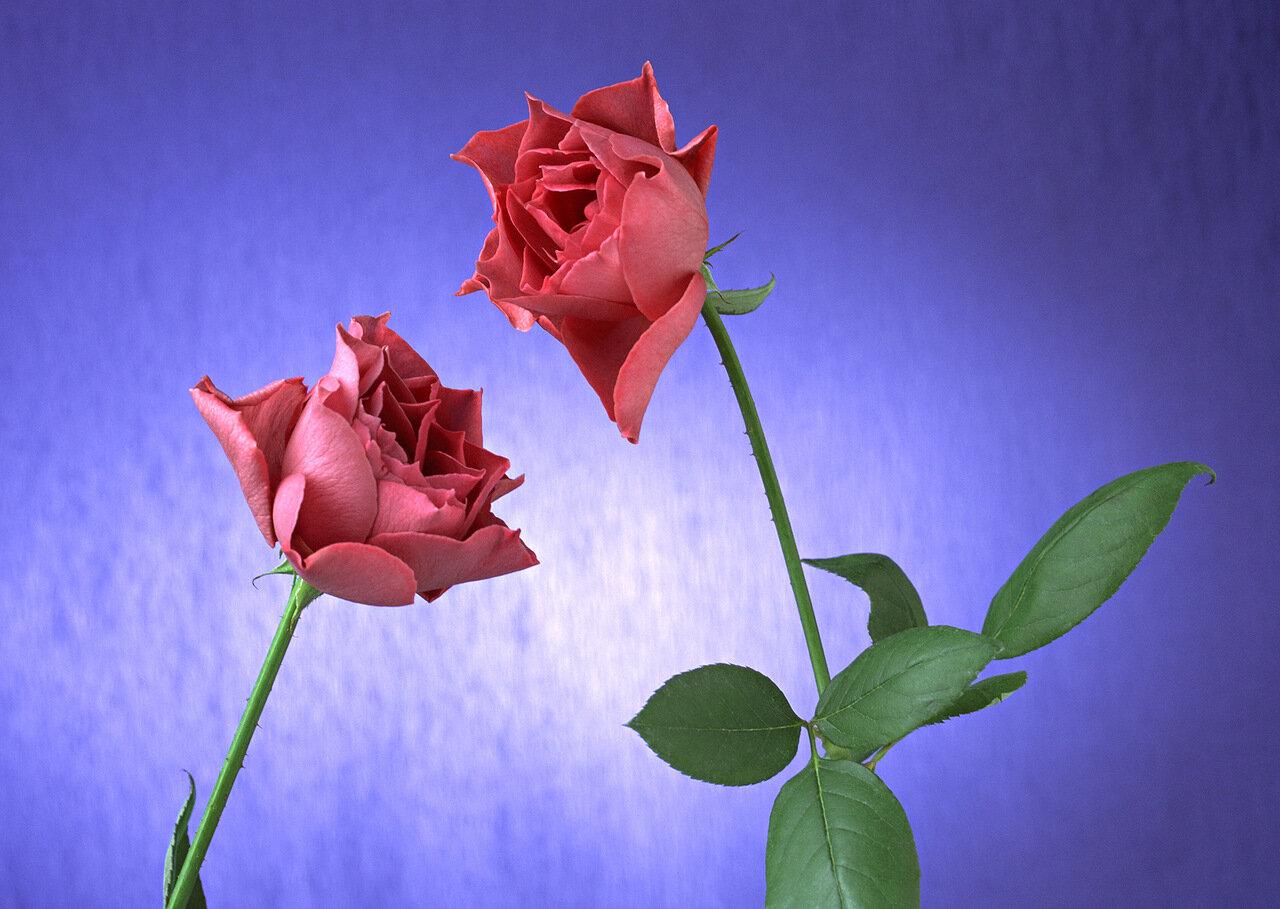 Два цветка открытки