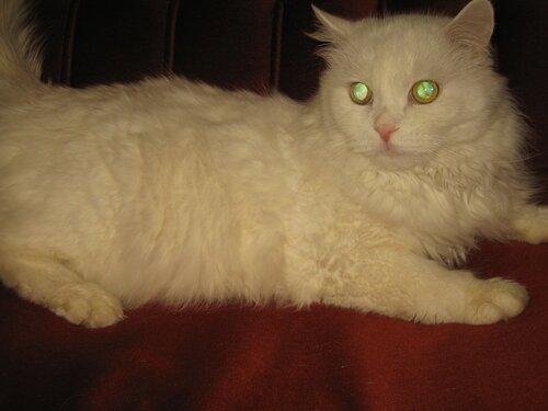 маркиз, котик