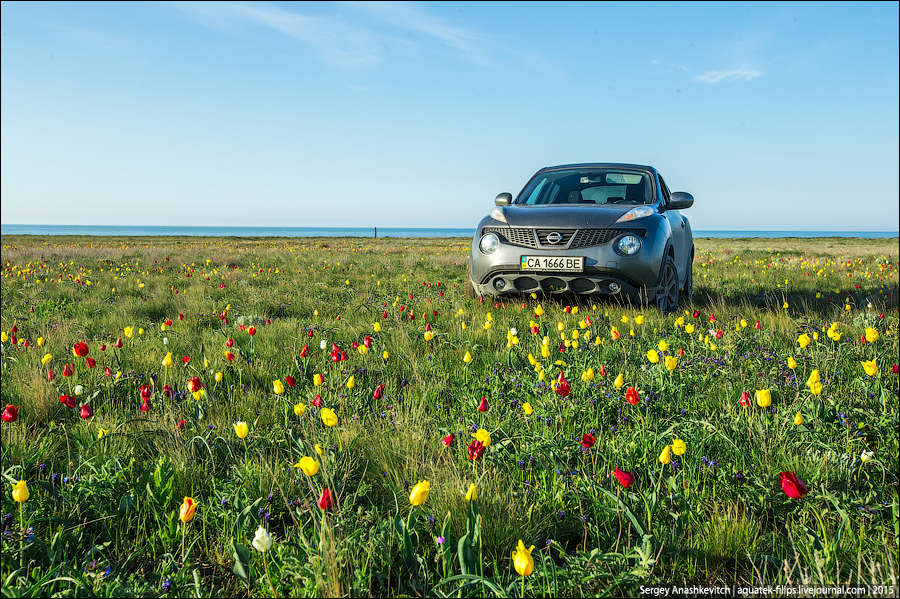 Дикие тюльпаны в Крыму