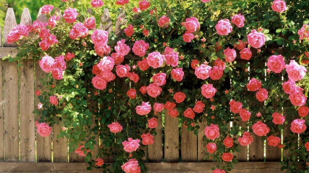 American_Beauty_Climbing_Roses.jpg