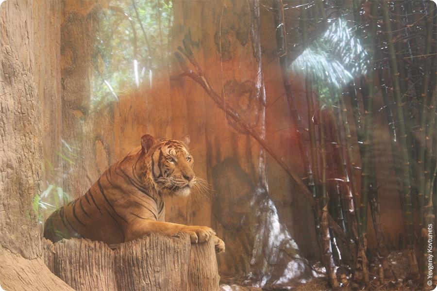 Тигр в вольере, тайландский зоопарк Кхао-Кхео