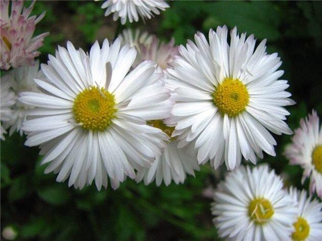 Цветок рыцарей, любви и гаданий - маргаритка