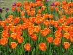 Краснодарские клумбы с тюльпанами