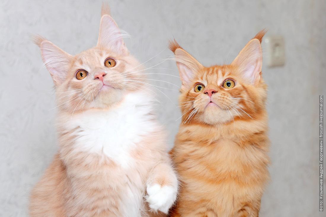 фотографии Мейн-кун котята