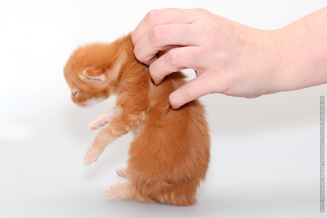 котенок мейн-кун красный