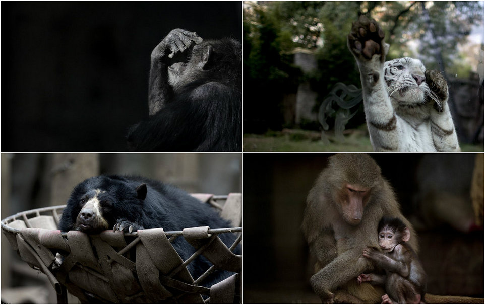 Sad animals in the zoo of Buenos Aires, which were supposed to relocate a year ago