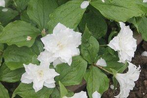 Весенне цветущие - Страница 11 0_12de41_33d3025b_M