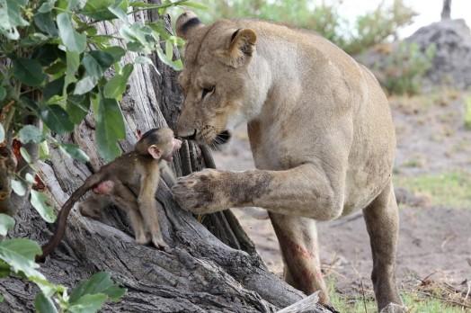 Львица оставила в живых детеныша бабуина 0 11e708 6de10510 orig