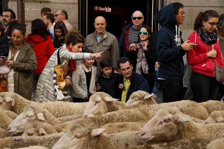 2. Овечий парад прошествовал мимо основных достопримечательностей Мадрида, в том числе по площади Пу