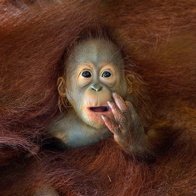A baby Orangutan peeking out from his mother's embrace. © Chin Boon Leng, 2014 Sony World Photo