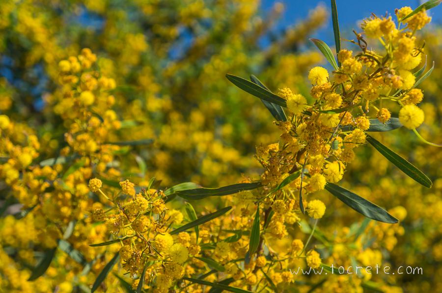 Мимоза. Крит. Весна | Mimosa. Crete. Spring