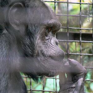 шимпанзе Чарли
