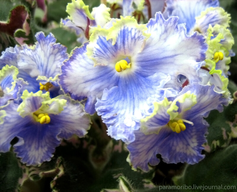 """Сенполия """"Перышко"""" - saintpaulia Feather (Fredette), пестролистная, белые «анютины глазки» с синими «перьями» – жилками"""