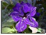 Петунья  фиолетовая темная.jpg