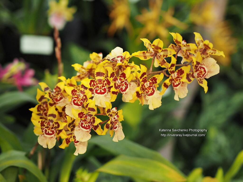 Выставка орхидей в берлинском Ботаническом Саду (16-18.09.2016)
