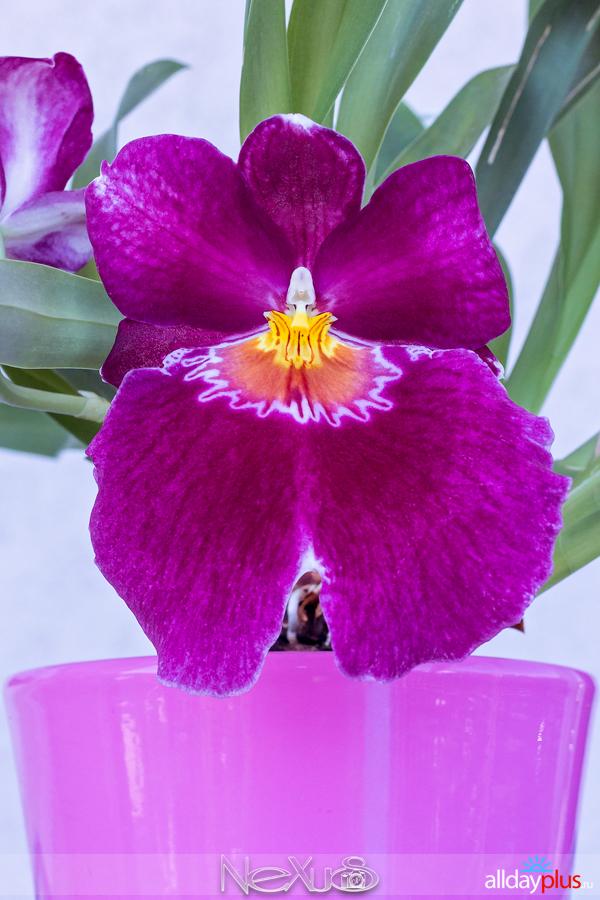 Я люблю все цветы, выпуск 150   Орхидея - «Покровительство богини».