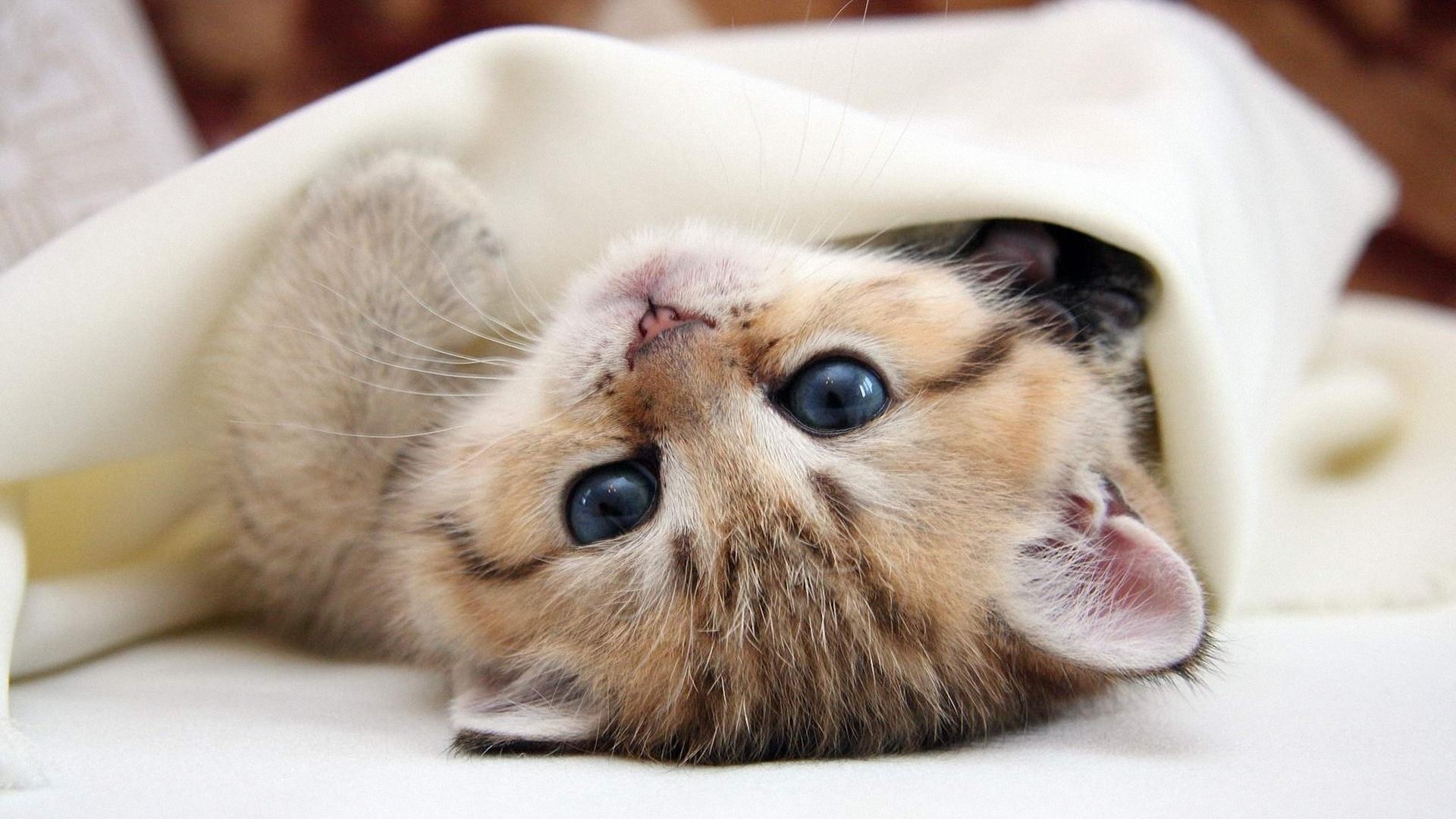 голубоглазый котенок плед подборки