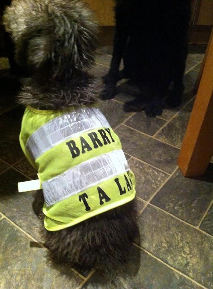 9. Светоотражающую куртку Барри носит, когда отправляется с хозяином на работу. Уэйн работает каменщ