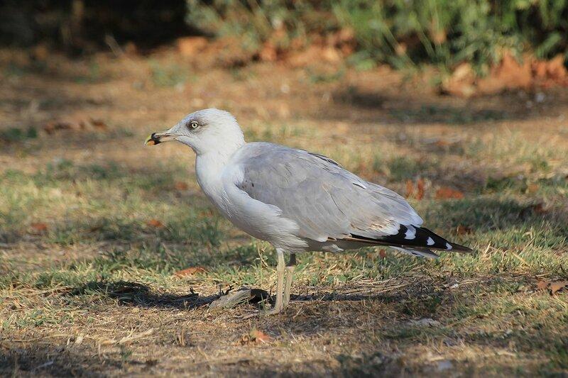 Крупная чайка, вероятно Хохотунья, или южная серебристая чайка (Larus cachinnans) с серо-белым оперением и красным пятном на клюве в Парке Победы в Севастополе