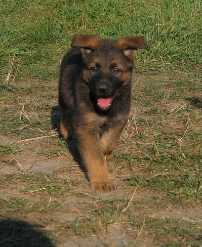 Родились щенки от Charly v. Rio Negro и Lola iz Peschanki 0_eaa56_ade5690c_L