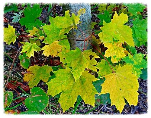 Листья клена в сентябре.