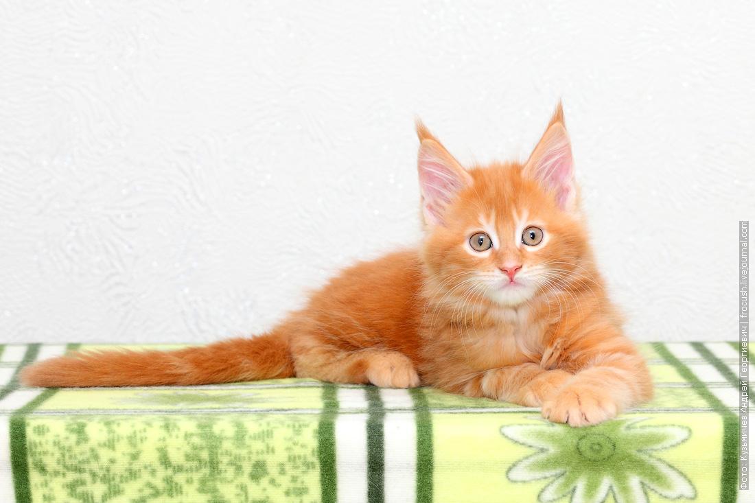 фото красный котенок Мейн-кун