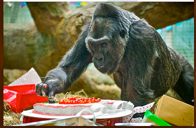 COLO, the first gorilla born in human care, turns 59 years old!