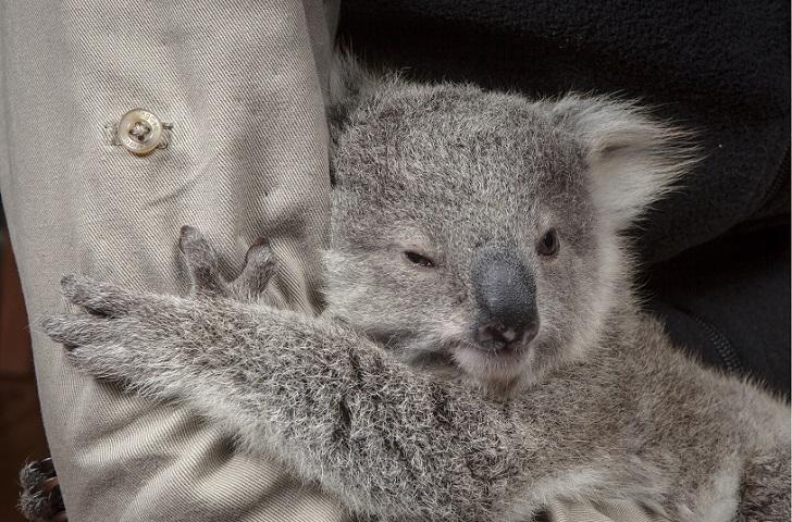 Первая фотосессия крошки коалы