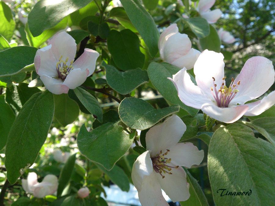айва-цветет-12.jpg