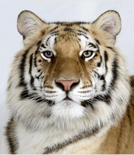 Фотографии бенгальских тигров в паспорте. travel - Смотреть все фото Фотографии бенгальских тигров в паспорте онлайн...