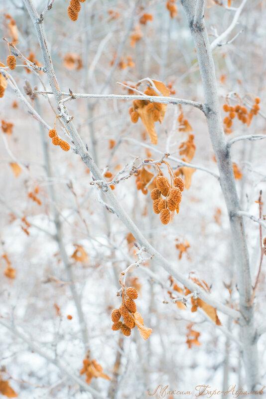 Ольха Зимой