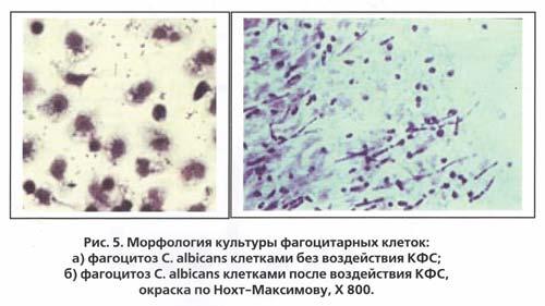 Фагоцитоз C. albicans при воздействии КФС