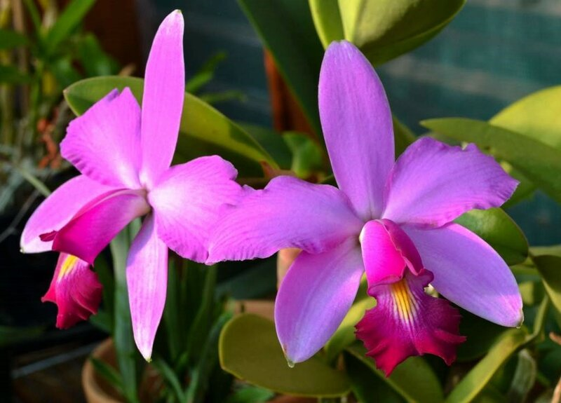 Cattleya violacea 'Lea'